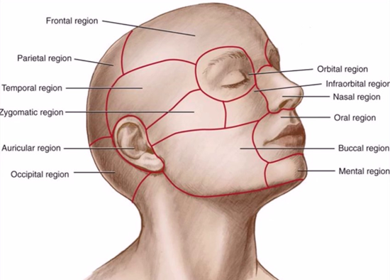 Анатомические области шеи и головы по Л. З. Телю