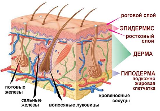 Строение кожи  - материалы для лицевой гимнастики.